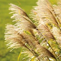 Grasses_1
