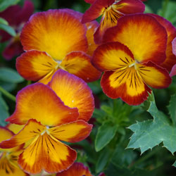 fall-pansies-1