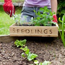 Gardener With Seedling Tray